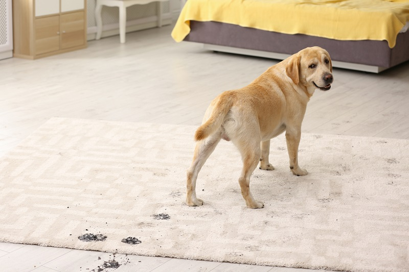 best spot cleaning machine for dog and cat messes - Cute dog leaving muddy paw prints on carpet