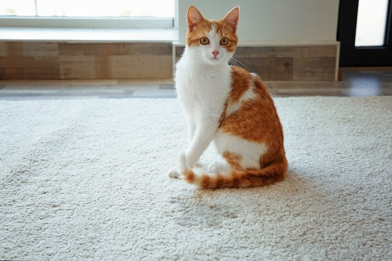 how to remove cat urine from carpet - cat sitting next to wet spot on rug